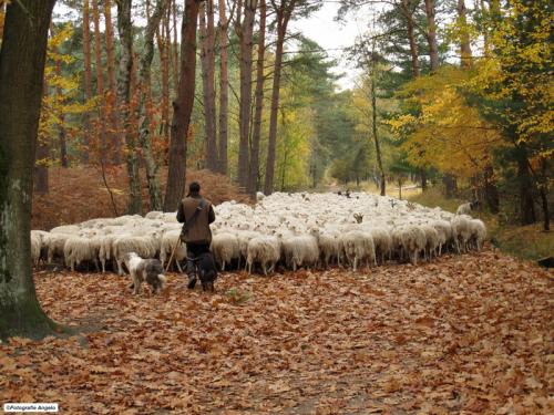 schapenherder